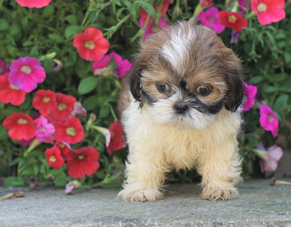 Shih Tzu Puppy For Sale Warsaw, OH Male- Chase