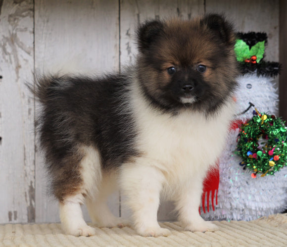ACA Registered Pomeranian For Sale Millersburg, OH Male- Jimmy