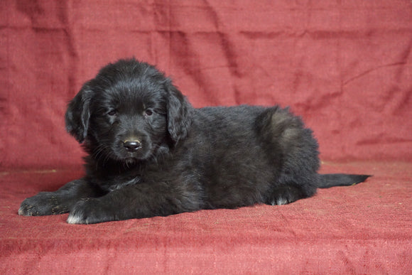 Australian Retriever For Sale Fredericksburg, OH Male- Max