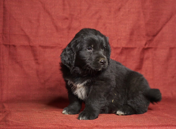 Australian Retriever For Sale Fredericksburg, OH Male- Rex