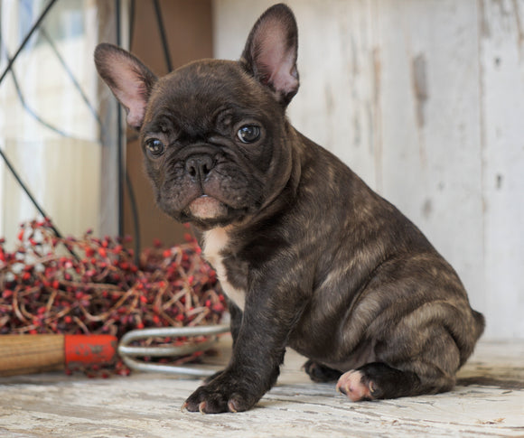 AKC Registered French Bulldog For Sale Millersburg, OH Female- Patty