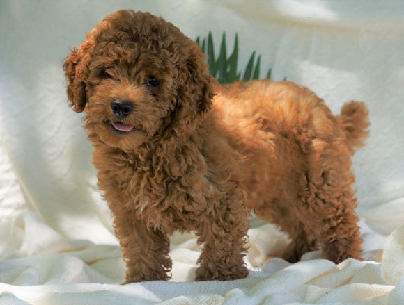 Mini Poodle For Sale Dundee, OH Male- Ricco