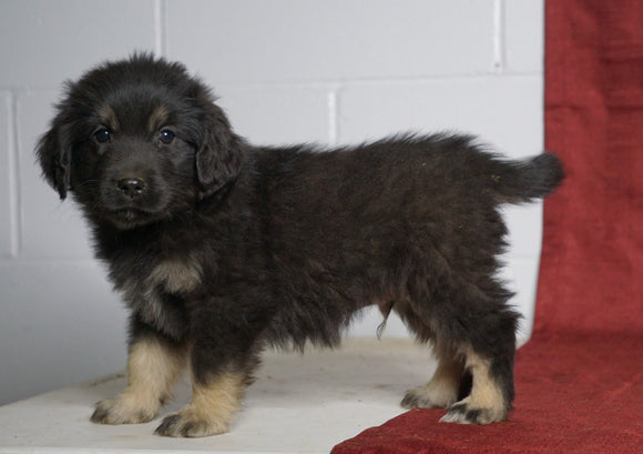 Australian Retriever For Sale Fredericksburg, OH Male- Shadow