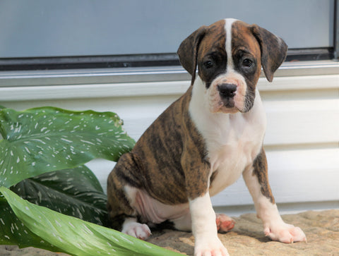 AKC Registered Boxer Puppy For Sale Baltic, OH Female- Greta
