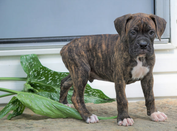 AKC Registered Boxer Puppy For Sale Baltic, OH Male- George