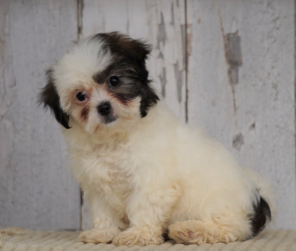 Shih- Poo For Sale Millersburg, OH Female- Lola