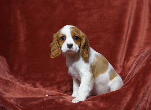 AKC Registered Cavalier King Charles Spaniel For Sale Fredericksburg, OH Female- Queen