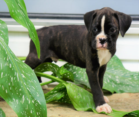 AKC Registered Boxer Puppy For Sale Baltic, OH Male- Grant