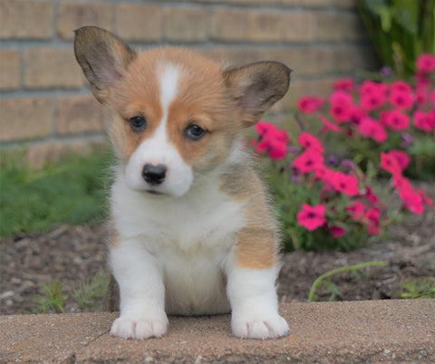AKC Registered Pembroke Welsh Corgi For Sale Millersburg, OH Male- Bernie