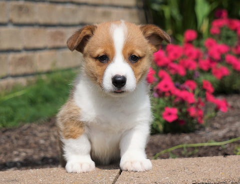 AKC Registered Pembroke Welsh Corgi For Sale Millersburg, OH Male- Asher