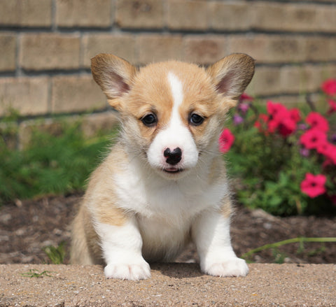 AKC Registered Pembroke Welsh Corgi For Sale Millersburg, OH Female- Charlotte