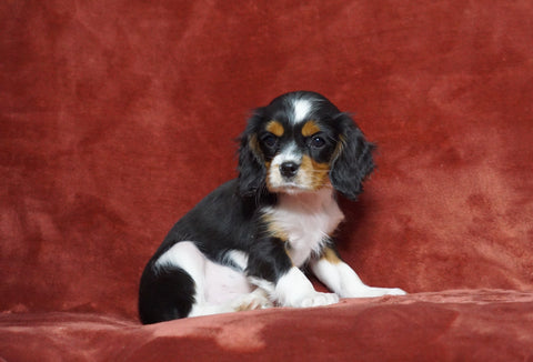 AKC Registered Cavalier King Charles Spaniel For Sale Fredericksburg, OH Male- Frisky