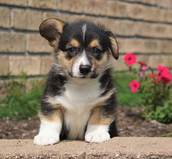 AKC Registered Pembroke Welsh Corgi For Sale Millersburg, OH Male- Tristan