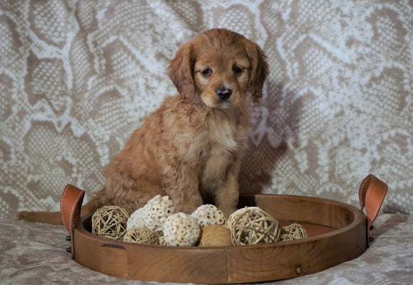 Cockapoo Mix For Sale Applecreek, OH Female- Holly