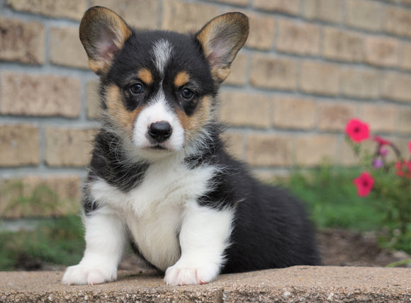 AKC Regsitered Pembroke Welsh Corgi For Sale Millersburg, OH Male- Shorty