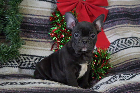 AKC Registered French Bulldog For Sale Millersurg, OH Male- Ira
