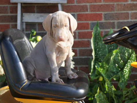 ACA Registered Weimaraner For Sale Millersburg, OH Male- Evan