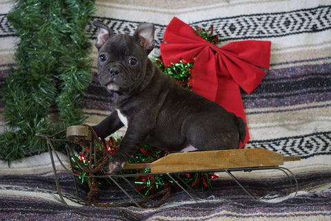 AKC Registered French Bulldog For Sale Millersburg, OH Male- Willard