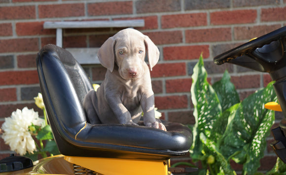 ACA Registered Weimaraner For Sale Millersburg, OH Male- Frisky