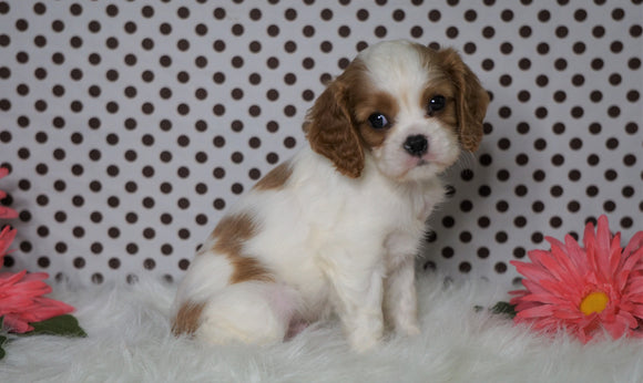 ACA Registered Cavalier King Charles Spaniel For Sale Fredericksburg, OH Male- Zander