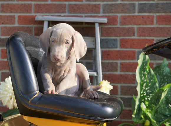 ACA Registered Weimaraner For Sale Millersburg, OH Male- Hunter
