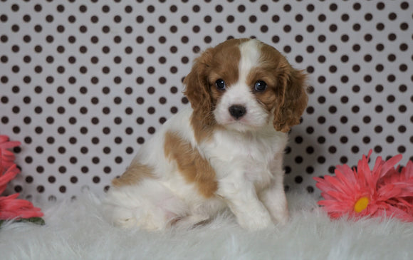 ACA Registered Cavalier King Charles Spaniel For Sale Fredericksburg, OH Female- Zoey