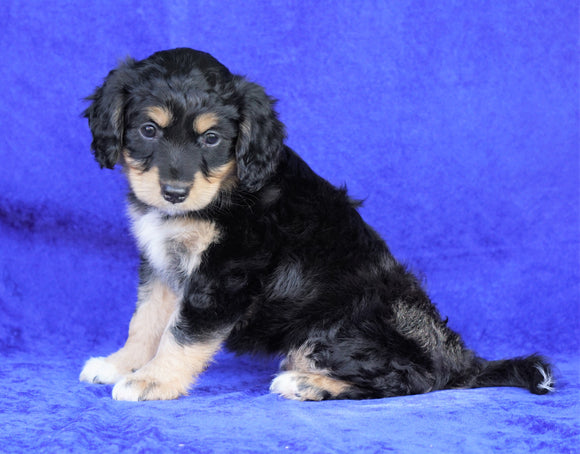 Mini Aussiedoodle For Sale Millersburg, OH Female- Stella