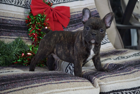 AKC Registered French Bulldog For Sale Millersburg, OH Male- Toby