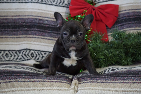 AKC Registered  French Bulldog For Sale Millersburg, OH Male- Jack