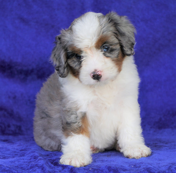 Mini Aussiedoodle For Sale Millersburg, OH Female- Darla