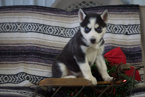 AKC Registered Siberian Husky For Sale Millersburg, OH Female- Susan