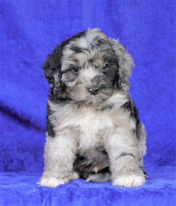 Mini Aussiedoodle For Sale Millersburg, OH Male- Carlos