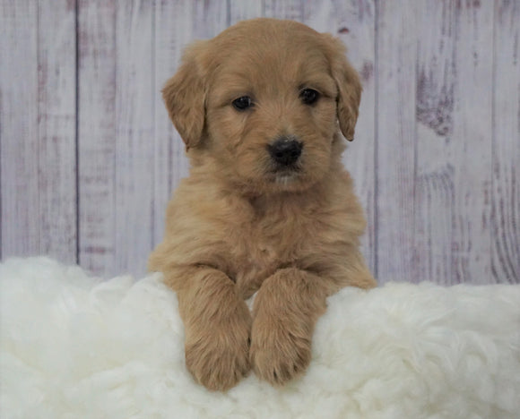 Standard Goldendoodle For Sale Sugarcreek, OH Male- Miles