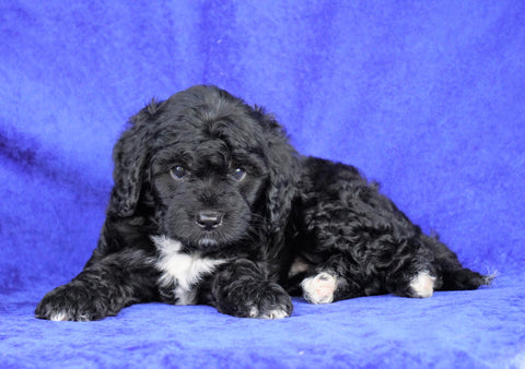 Mini Aussiedoodle For Sale Millersburg, OH Female- Judy