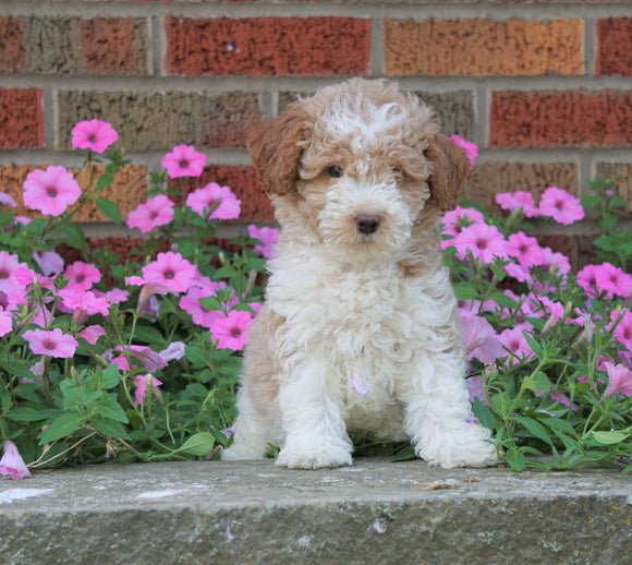 AKC Registered Moyen Poodle For Sale Apple Creek, OH Male- Drake
