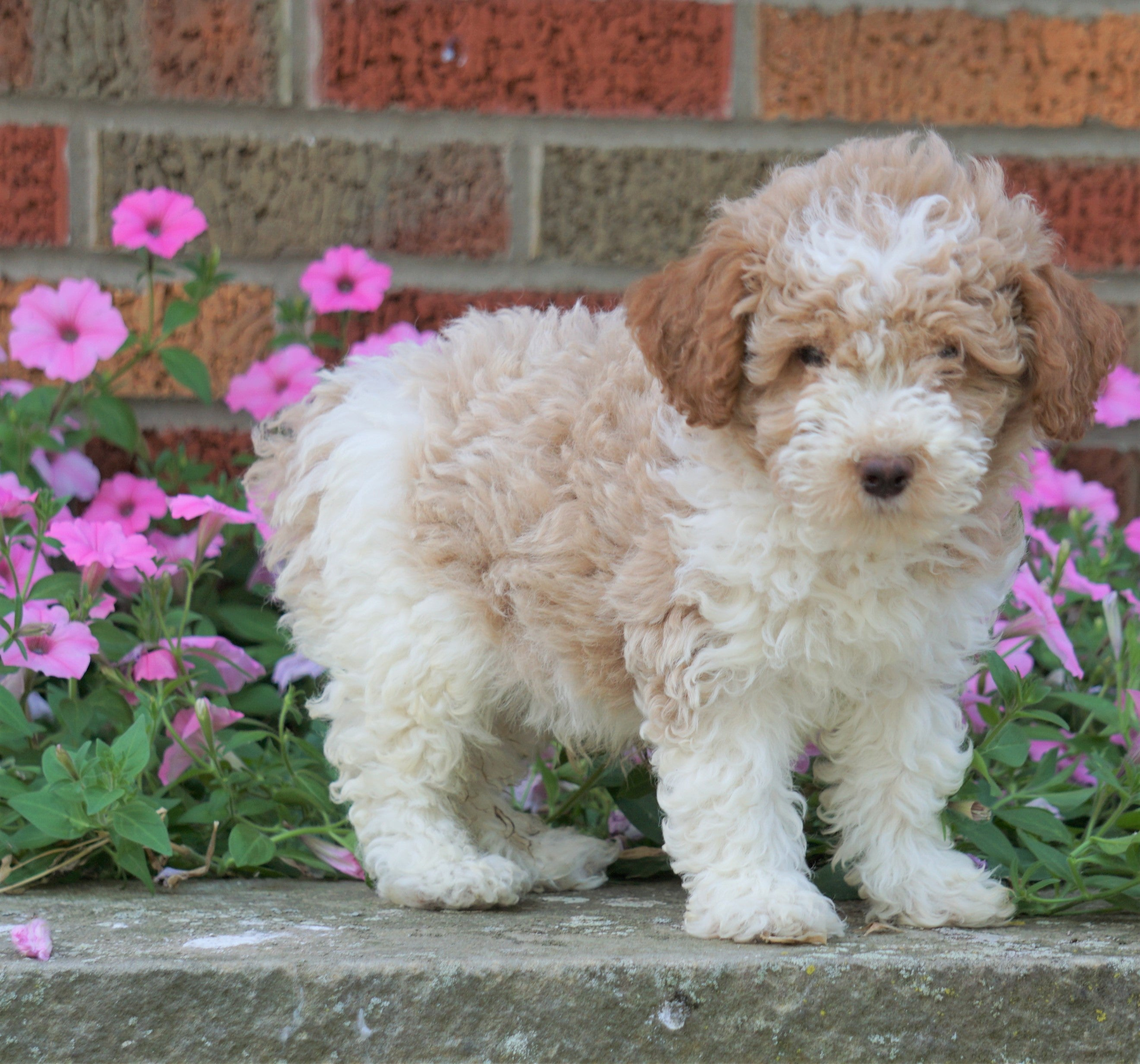 Akc Registered Moyen Poodle For Sale Apple Creek Oh Male