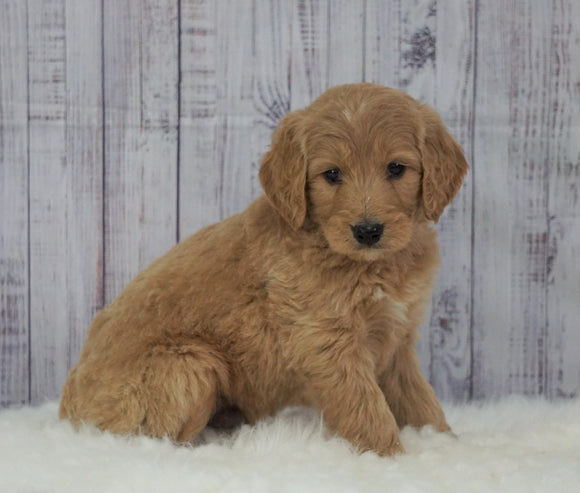 Standard Goldendoodle For Sale Sugarcreek, OH Male- Silas
