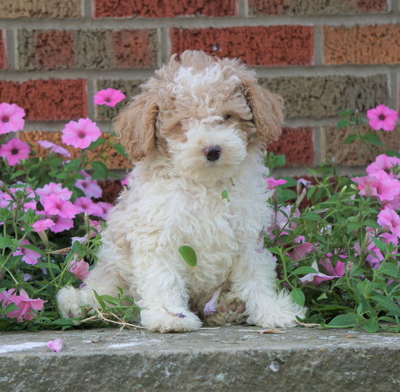 AKC Registered Moyen Poodle For Sale Apple Creek, OH Male- Alex