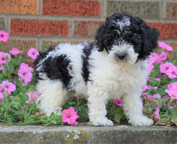AKC Registered Moyen Poodle For Sale Apple Creek, OH Male- Marco *SHIPPING INCLUDED*
