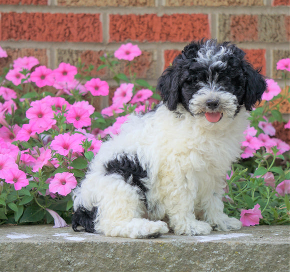 AKC Registered Moyen Poodle For Sale Apple Creek, OH Male- Tommy *SHIPPING INCLUDED*