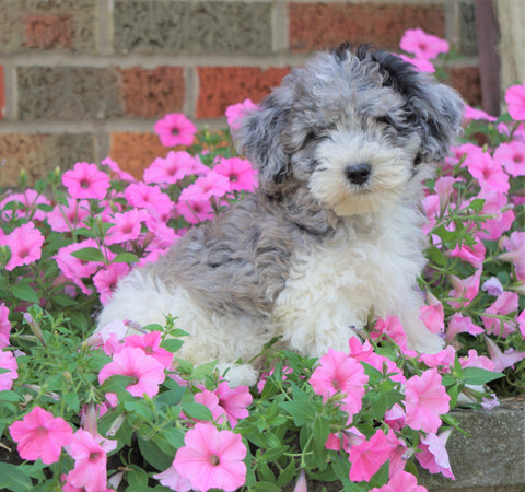 AKC Registered Moyen Poodle For Sale Apple Creek, OH Male- Brodie
