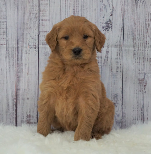 Standard Goldendoodle For Sale Sugarcreek, OH Male- Buster