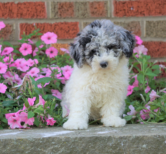 AKC Registered Moyen Poodle For Sale Apple Creek, OH Female- Zoey
