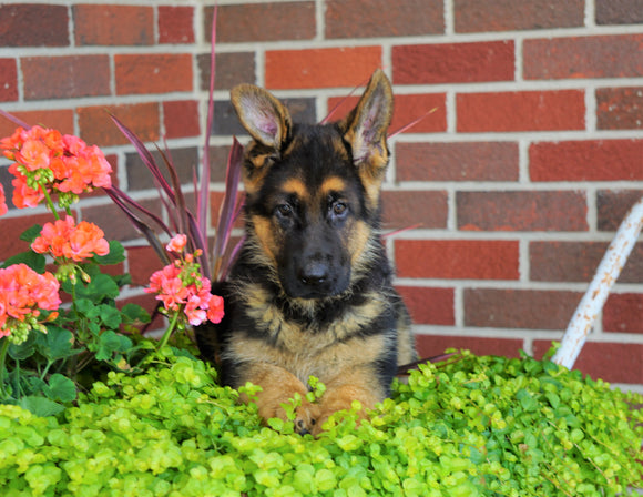 AKC Registered German Shepherd For Sale Baltic, OH Male- Rambo