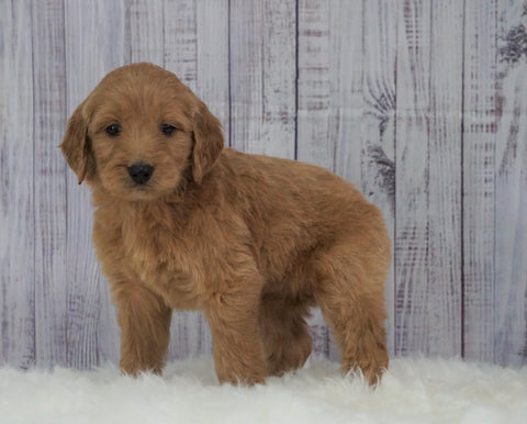 Standard Goldendoodle For Sale Sugarcreek, OH Female- Molly