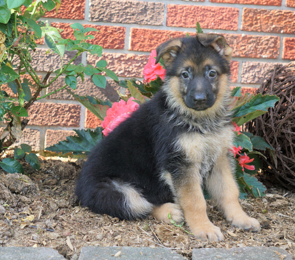 AKC Registered German Shepherd For Sale Baltic, OH Female- Princess
