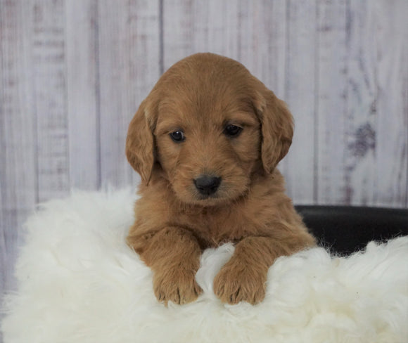 Standard Goldendoodle For Sale Sugarcreek, OH Female- Izzy