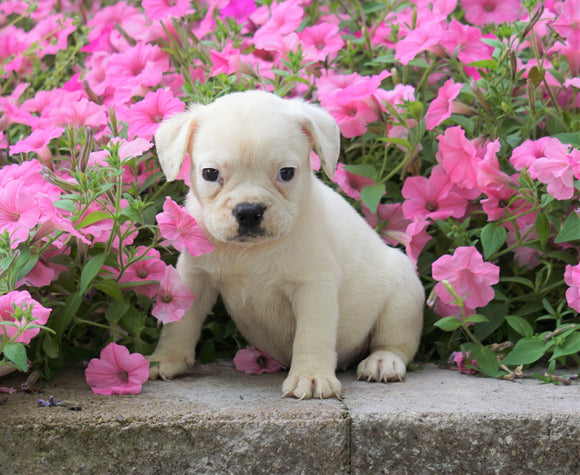 English Bulldog/Puggle For Sale Sugar Creek, OH Female- Sydney