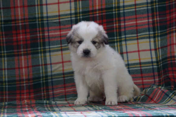 Great Pyrenees For Sale Fresno, OH Male- Duke