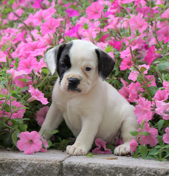 English Bulldog/Puggle For Sale Sugar Creek, OH Female- Shelly